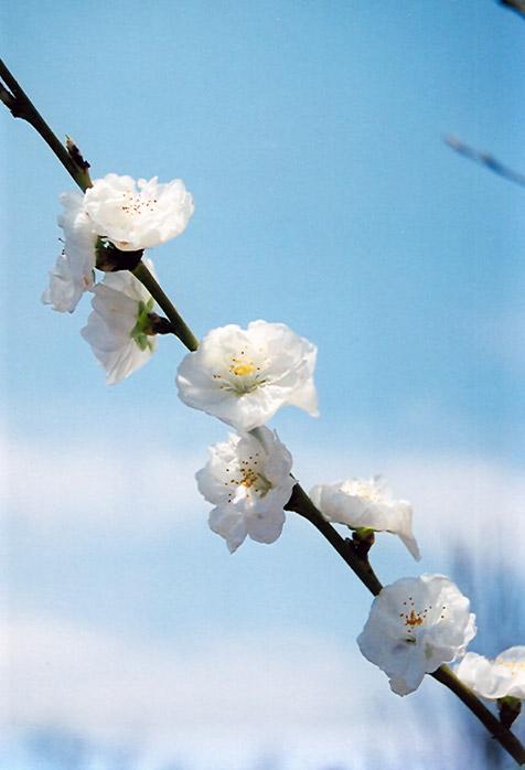 Corinthian White Flowering Peach Prunus Persica