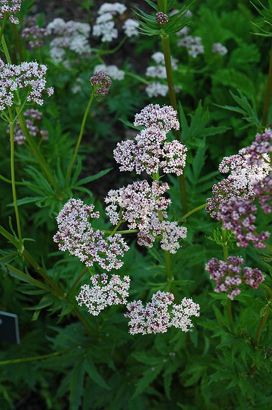 Common Valerian Valeriana Officinalis In Greensboro High