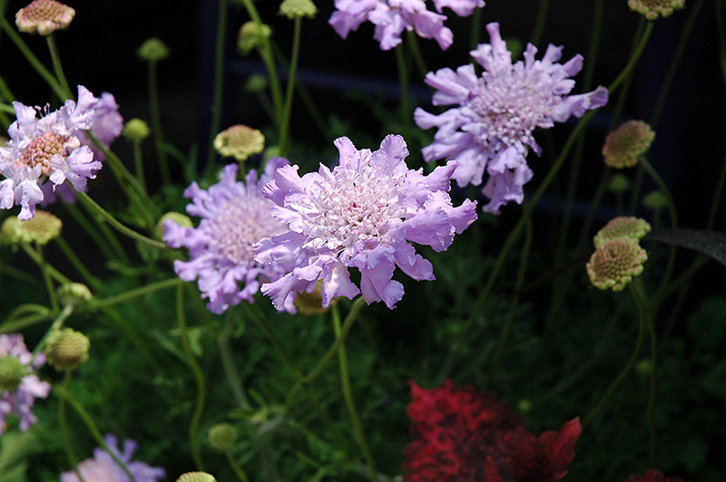 Giant Blue Pincushion Flower Scabiosa Giant Blue In Greensboro