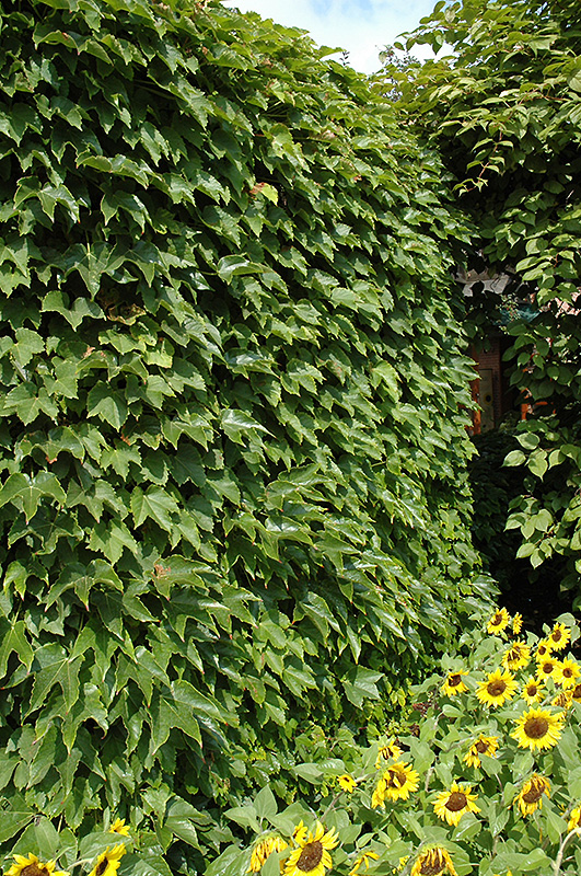 New Garden Landscaping Greensboro : Boston ivy parthenocissus tricuspidata in greensboro