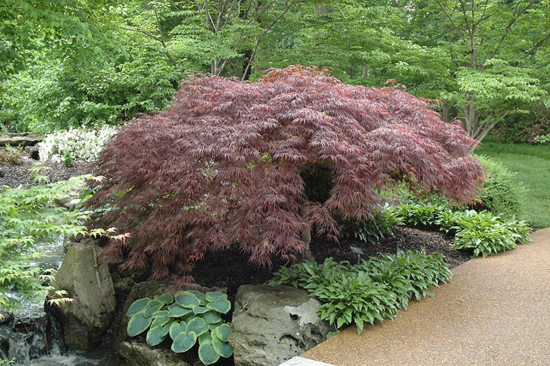 Red Select Japanese Maple Acer Palmatum Red Select In