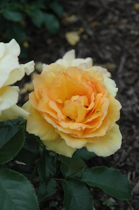Если будете пользоваться ими , у вас будут роскошные розы в саду