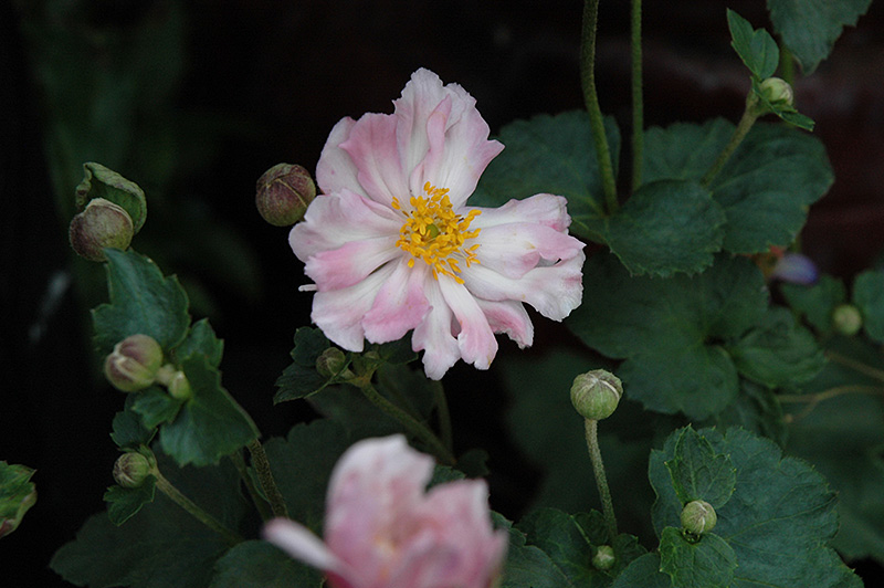 Queen Charlotte Anemone X Hybrida At New Garden Landscaping
