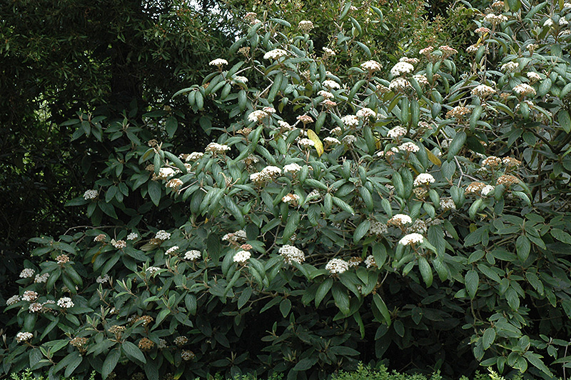Sweet Viburnum Viburnum Odoratissimum In Greensboro High
