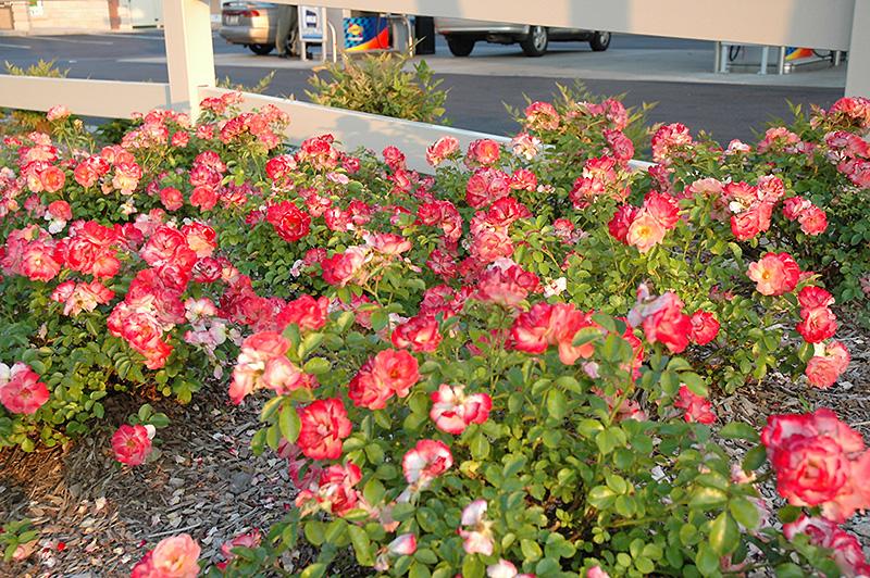 Flower Carpet Coral Rose Rosa 39 Flower Carpet Coral 39 In