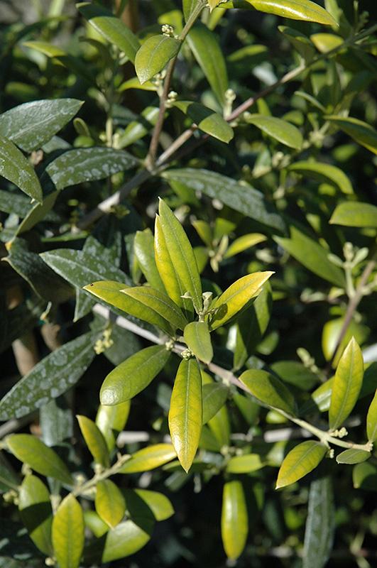 Arbequina European Olive (Olea europaea \'Arbequina\') in Greensboro ...