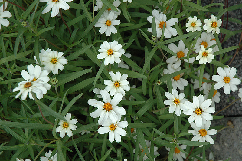 Star White Zinnia (Zinnia angustifolia \'Star White\') in Greensboro ...