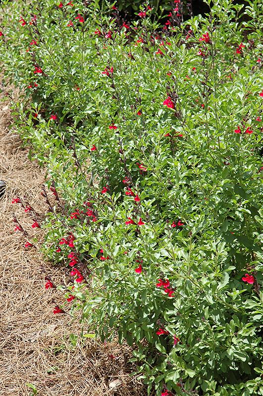 Furman S Red Texas Sage Salvia Greggii Furman S Red In