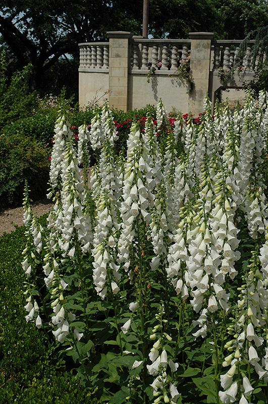 White Foxglove (Digitalis Purpurea U0027Albau0027) At New Garden Landscaping U0026  Nursery