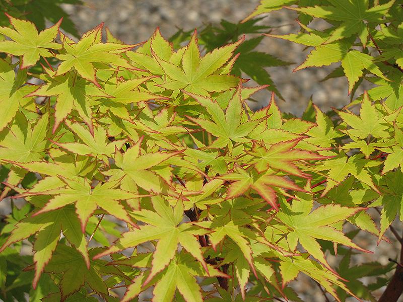 C Bark Anese Maple Acer Palmatum Sango Kaku At New Garden Landscaping