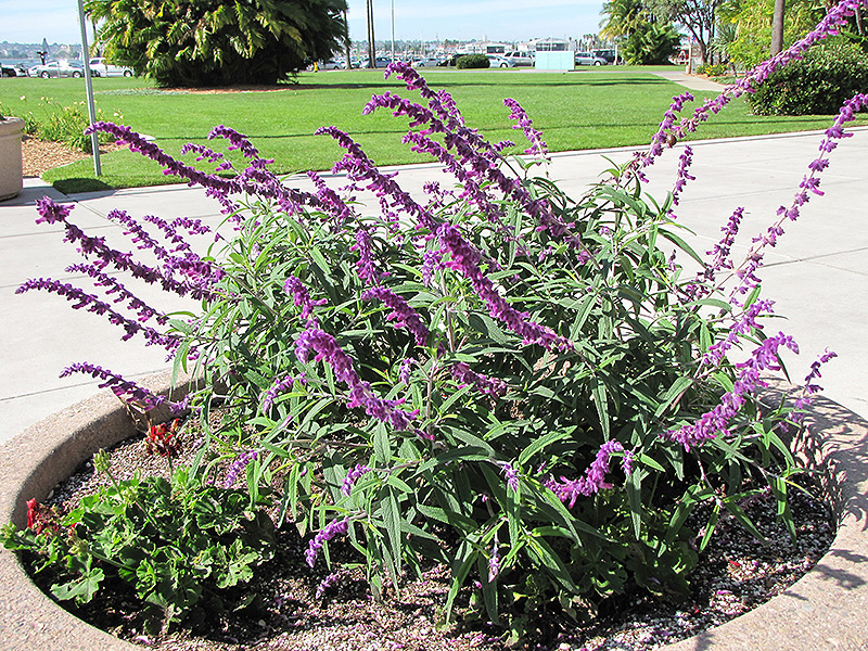 Picture of Live Mexican Sage aka Salvia leucantha 'Midnight' Plant Fit 5 Gallon Pot