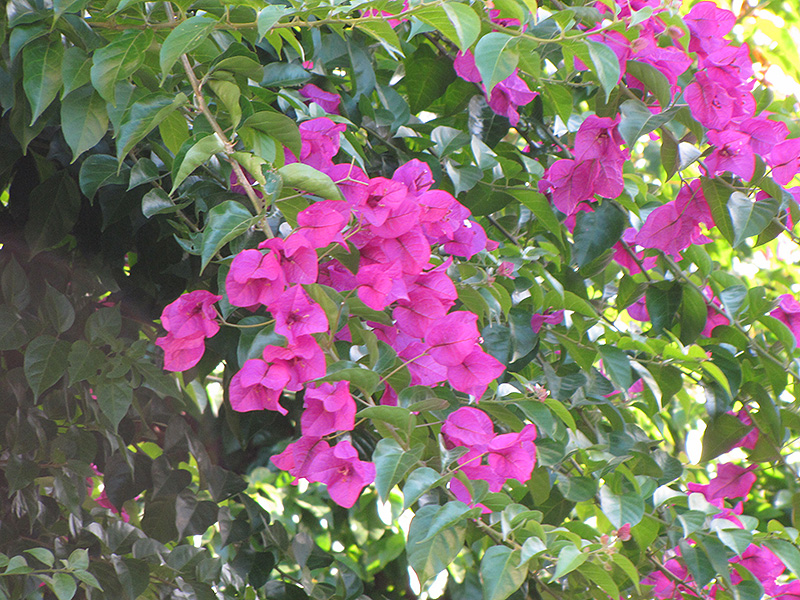 Purple Robe Bougainvillea Bougainvillea Purple Robe In