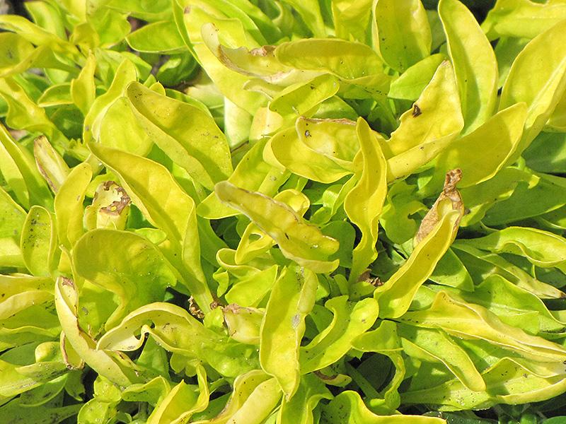 True Yellow Alternanthera (Alternanthera Ficoidea U0027True Yellowu0027) At New  Garden Landscaping U0026