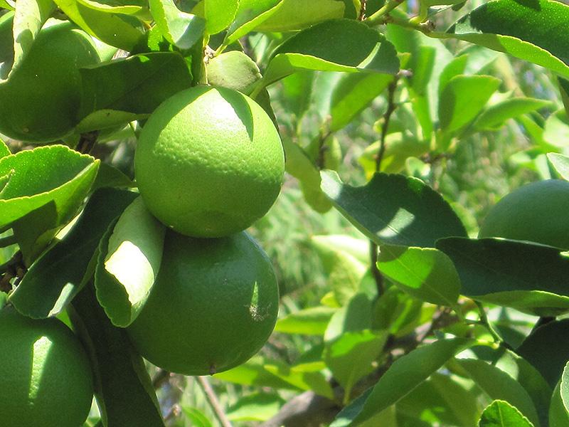 Persian Lime (Citrus X Latifolia) At New Garden Landscaping U0026 Nursery