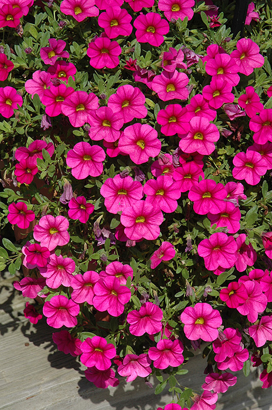 million bells trailing magenta calibrachoa calibrachoa 39 million bells trailing magenta 39 in. Black Bedroom Furniture Sets. Home Design Ideas