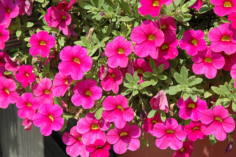 million bells bouquet brilliant red calibrachoa calibrachoa 39 million bells bouquet brilliant. Black Bedroom Furniture Sets. Home Design Ideas