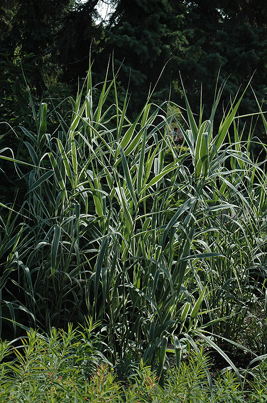 Peppermint stick giant reed grass arundo donax for New garden plants