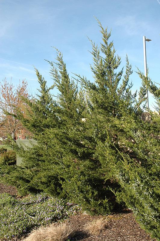 Kaizuka Juniper Juniperus Chinensis Kaizuka In