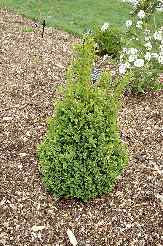 green mountain boxwood buxus green mountain in greensboro high