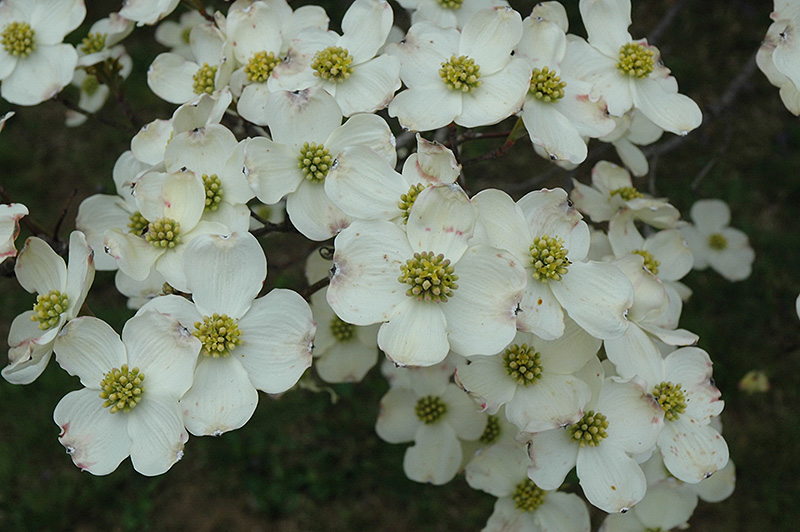 cloud 9 flowering dogwood cornus florida 39 cloud 9 39 in greensboro high point winston salem. Black Bedroom Furniture Sets. Home Design Ideas