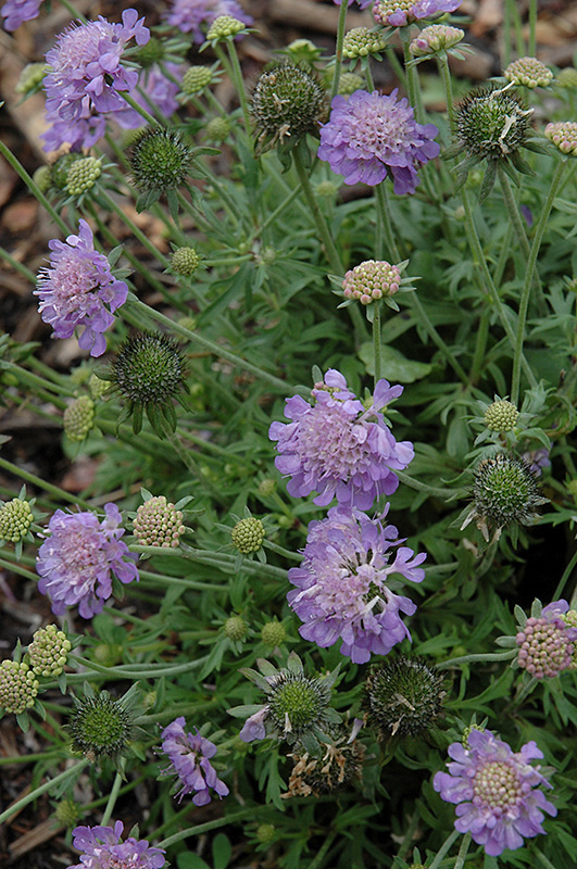 Ritz Blue Pincushion Flower (Scabiosa japonica \'Ritz Blue\') in ...