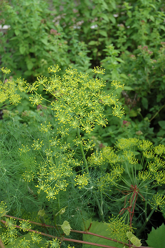 Dill (Anethum Graveolens) At New Garden Landscaping U0026 Nursery