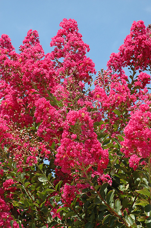 Tuskegee Crapemyrtle Lagerstroemia Tuskegee In
