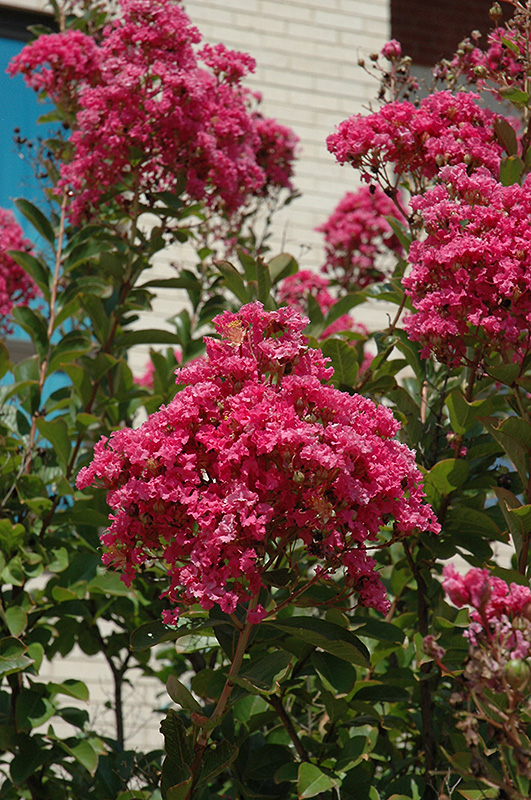Miami Emyrtle Lagerstroemia At New Garden Landscaping Nursery
