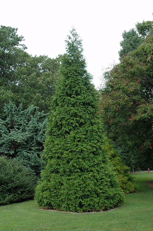 Green Giant Arborvitae Thuja Green Giant In Greensboro