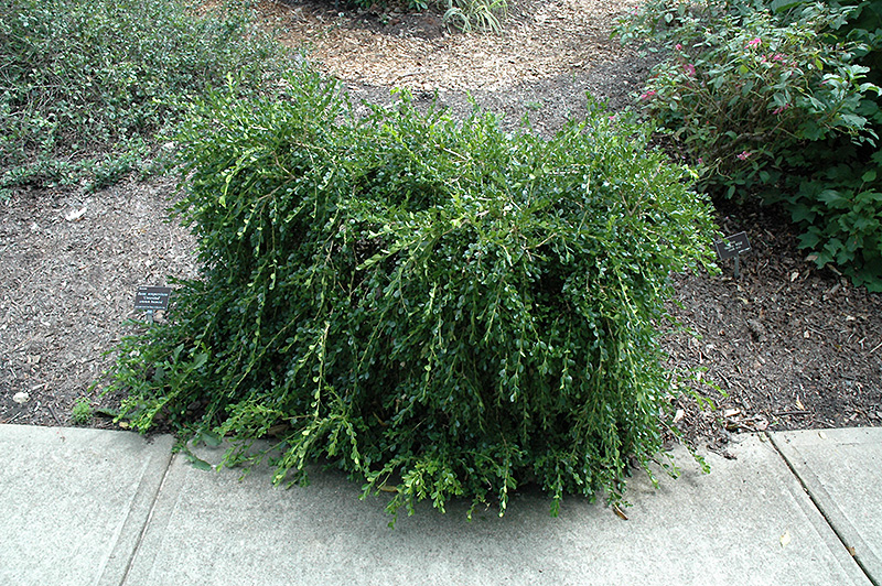 Unraveled Boxwood Buxus Sempervirens Unraveled In