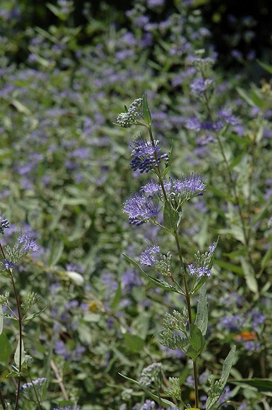 Bluebeard (Caryopteris X Clandonensis) At New Garden Landscaping U0026 Nursery