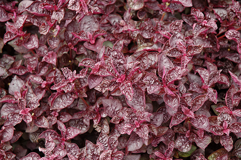 Purple Lady Blood Leaf Iresine Herbstii Purple Lady In