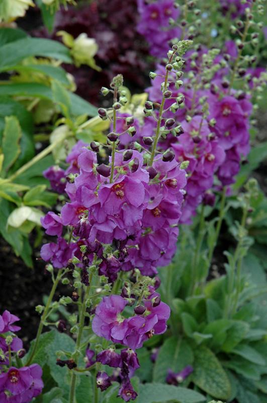 Sugar Plum Mullein (Verbascum U0027Sugar Plumu0027) At New Garden Landscaping U0026  Nursery