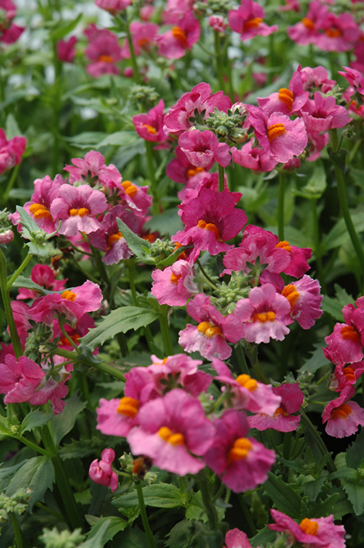 Sunsatia raspberry nemesia nemesia 39 sunsatia raspberry for New garden plants