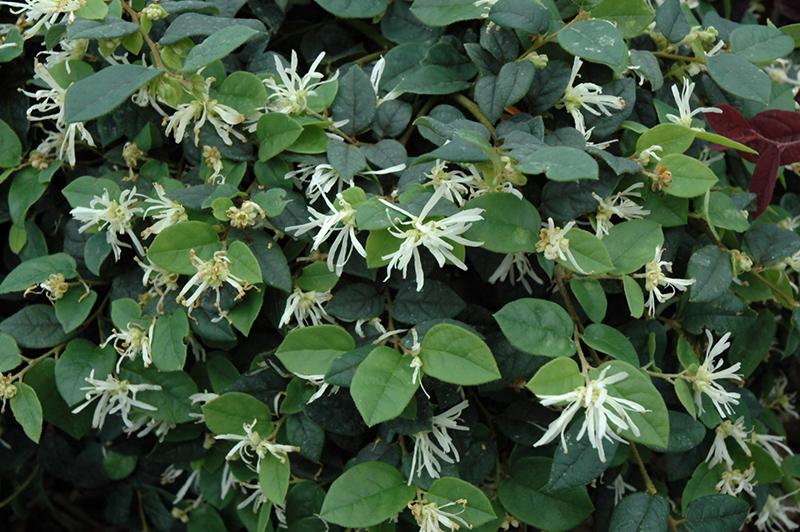 Jazz Hands Dwarf White Chinese Fringeflower (Loropetalum Chinense U0027Hakuouu0027)  At New Garden