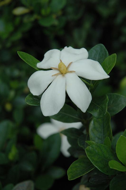 Kleim S Hardy Gardenia Gardenia Jasminoides Kleim S