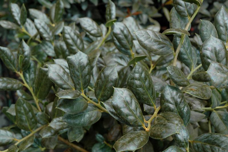 Burford Chinese Holly (Ilex Cornuta U0027Burfordiiu0027) At New Garden Landscaping  U0026 Nursery