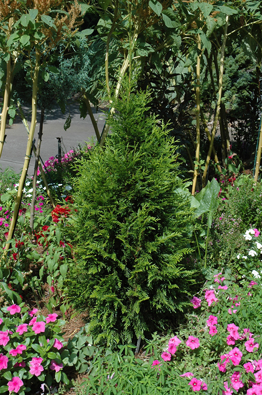 Steeplechase Arborvitae (Thuja U0027Steeplechaseu0027) At New Garden Landscaping U0026  Nursery