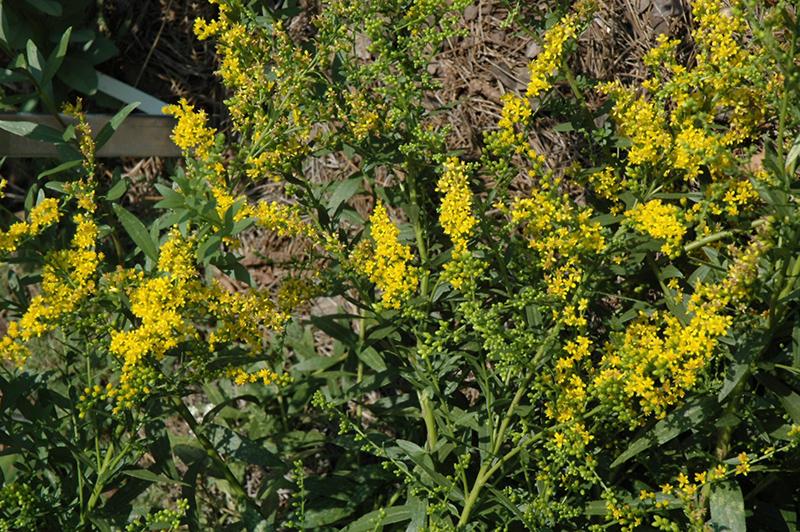 Solar Cascade Goldenrod (Solidago Shortii U0027Solar Cascadeu0027) At New Garden  Landscaping U0026