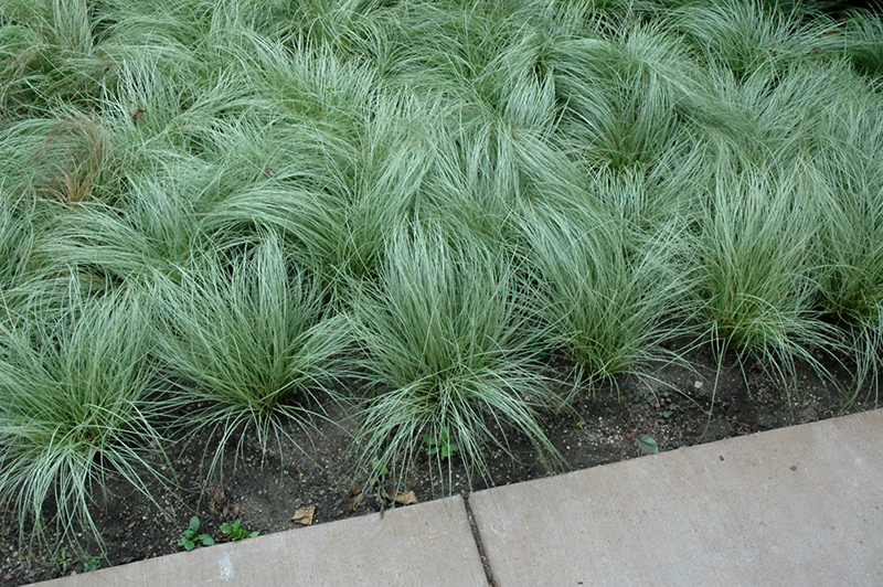 Amazon Mist Sedge (Carex Comans U0027Amazon Mistu0027) At New Garden Landscaping U0026