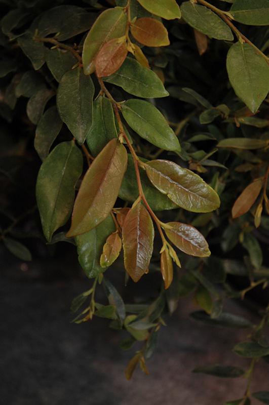 Linebacker Evergreen Distylium (Distylium U0027Linebackeru0027) At New Garden  Landscaping U0026 Nursery