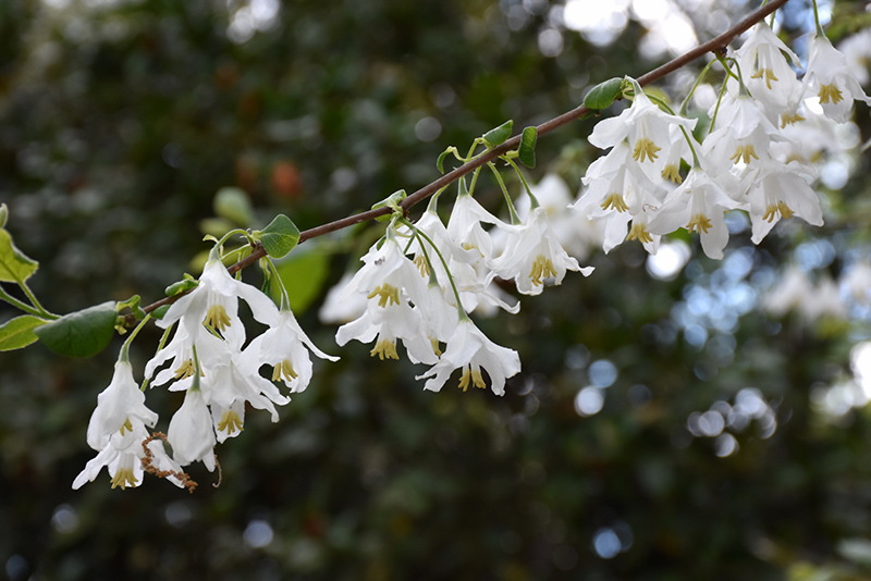 Two Winged Silverbell Halesia Diptera In Greensboro High