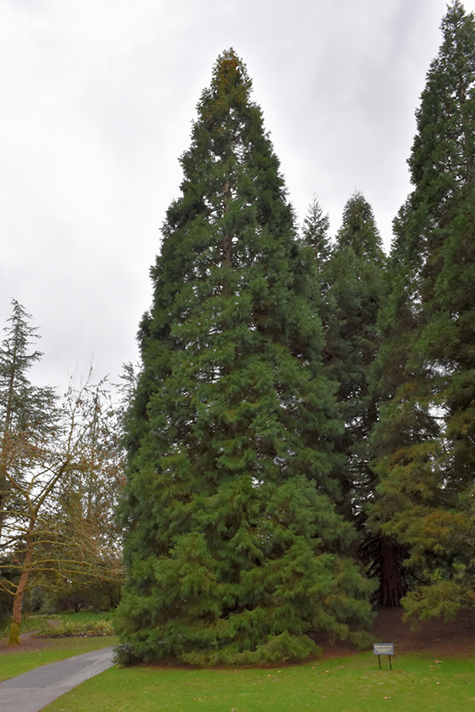 Giant Sequoia Sequoiadendron Giganteum In Greensboro