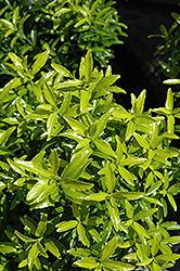 Butterscotch Euonymus Euonymus Japonicus Butterscotch