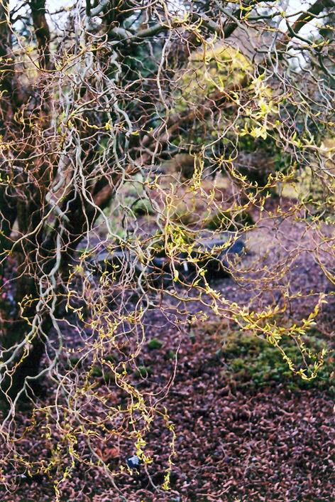 Dragon S Claw Willow Salix Matsudana Tortuosa In