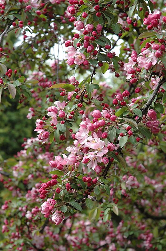Indian Summer Flowering Crab Malus Indian Summer In