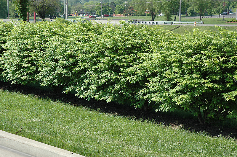 Cole S Compact Burning Bush Euonymus Alatus Cole S