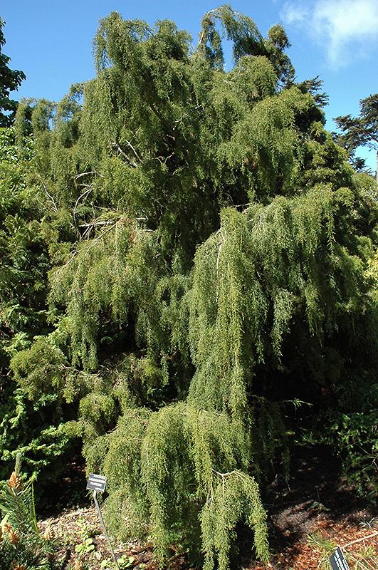 Huon Pine Lagarostrobos Franklinii In Greensboro High