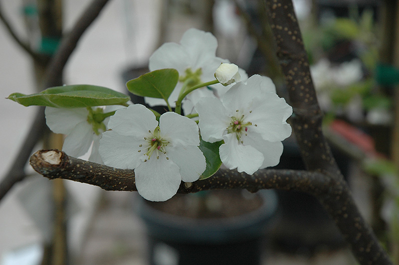 Hosui Asian Pear Pyrus Pyrifolia Hosui In Greensboro