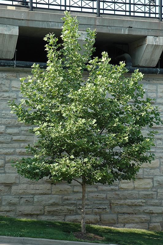 Yarwood London Planetree Platanus X Acerifolia Yarwood